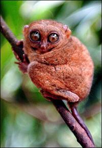 tarsier.jpg